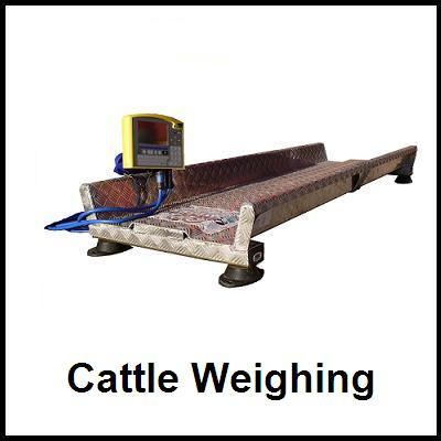 Cattle Weigh
