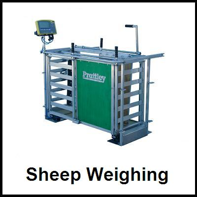 Sheep Weigh