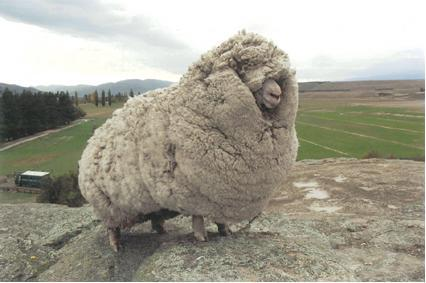 Shreck the sheep