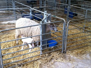 Sheep Adoption Gate Front View