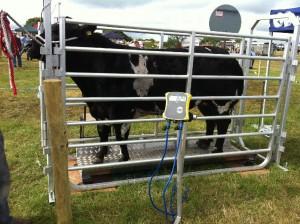 Cattle Weighing platform