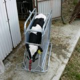 calf-dehorning-crate