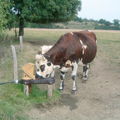 Cow drinking from Aquamat