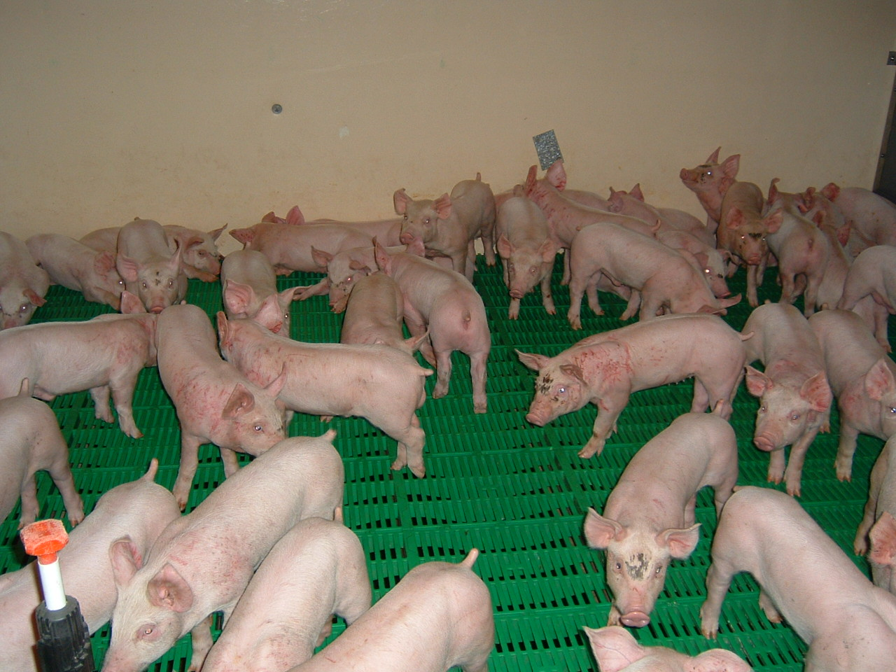 pig penning