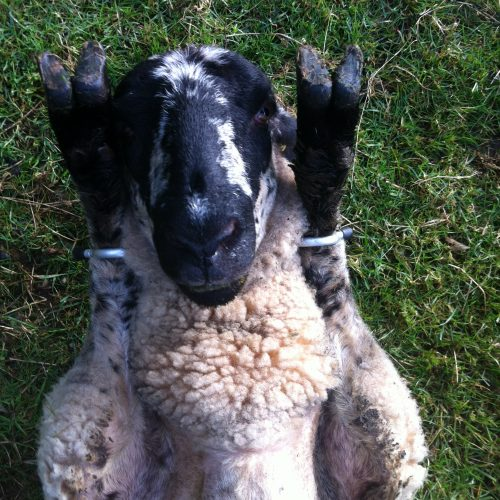 Sheep Restraint