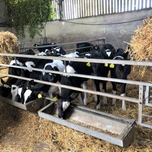 Calf feed Trough