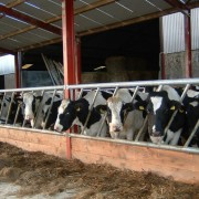 calf-product-img-36