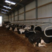 cattle-product-img-45
