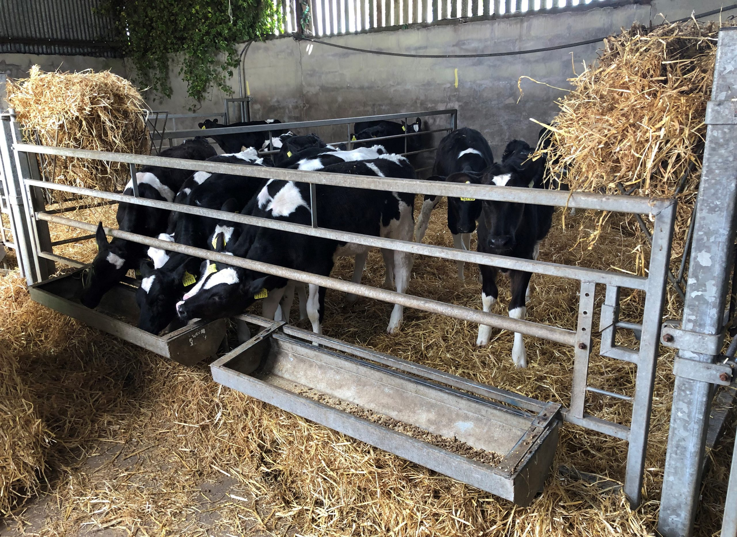 calf feed barriers