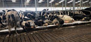 Comfort Roll Cow Mat