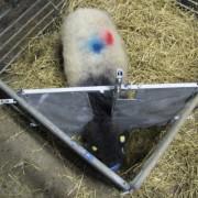 lamb adoption