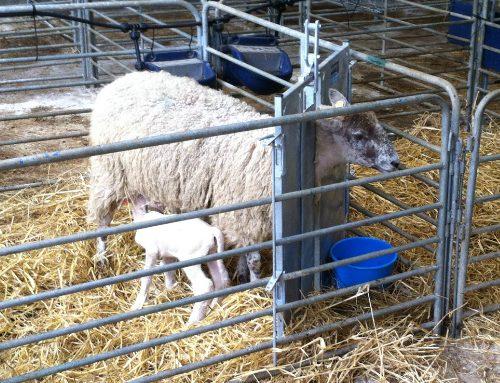 Lambing Season 2020