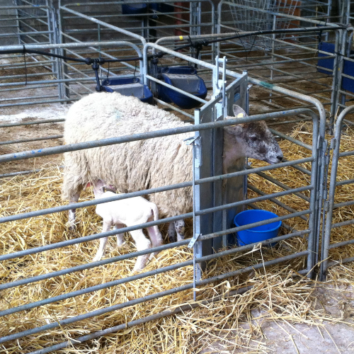 Lamb adoption gate
