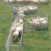 sheep (2)