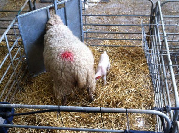 Lamb Adoption gate