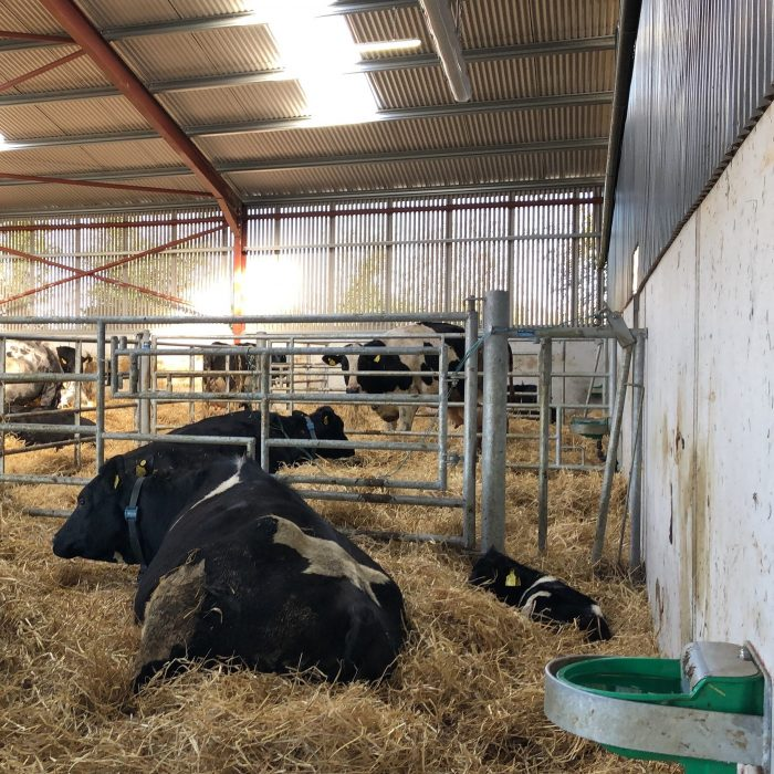 Fixed Calving Stall