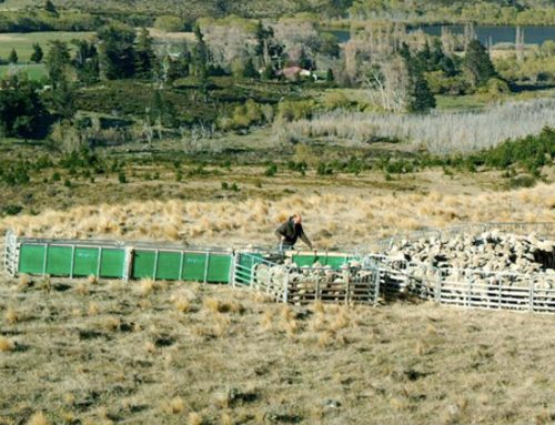 Prattley Sheep Handling Yards